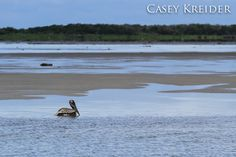 A brown pelican swims at Pea Island National Wildlife Refuge in Kinnakeet Township, North Carolina