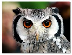 where the wild things are Beautiful Owl, Beautiful Pictures, Owl Eyes, Animal Totems, What A Wonderful World, Bird Feathers, Beautiful Creatures, Photo Galleries, Birds
