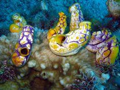 Golden sea squirt (Polycarpa aurata), Pulau Badas, Indonesia