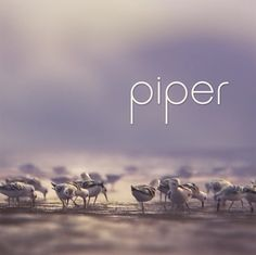 Pixar's Piper Animated Short tells the story of a baby Sandpiper who leaves the nest in search of food, only to be frightened by the ocean waves.