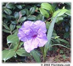 Mexican petunia (Ruellia brittoniana) host plant for Buckeye caterpillars. Also provides nectar for butterflies. Blooming Flowers, Tropical Flowers, Zinnias, Petunias, Different Types Of Fences, Edging Plants, Mexican Flowers, Hardy Plants, Annual Plants