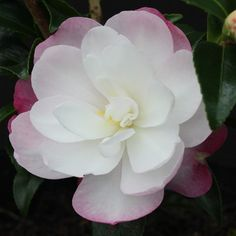 how to display cut camellias