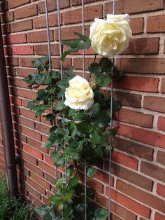 Rose Schneewalzer