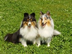 Fun day at the park for a pair of Shelties