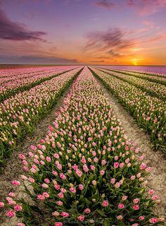 Tulip fields in Sexbierum, Friesland, The Netherlands.