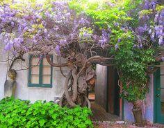 Majestosa Glicínia!por Depósito Santa Mariah