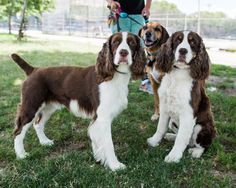 "Springer Spaniels & friend - JUL 14, 2016 / Hudson, Hudson & Plum. Brooklyn, NY • ""Hudson is more responsive to his name than Hudson."""
