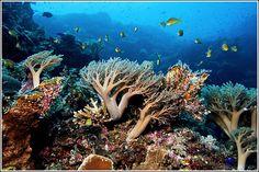 Beautiful Coral Reefs | tubbataha is a beautiful coral reef located in sulu sea 98 nautical ...