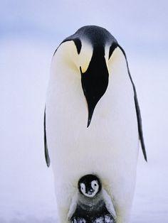maman et bébé pingouin