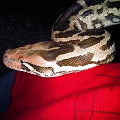 #snake #kingcobra #eightfeet #pet #slytherin #skin #scales #animal #beauty #onmylap #long #heavy #strong #eye #nagini #rave #trance #edm #astateoftrance #snakebite #dope #420 #clublife #plur #electro #clublife Check more at http://www.voyde.fm/photos/random-instagram/snake-kingcobra-eightfeet-pet-slytherin-skin-scales-animal-beauty-onmylap-long-heavy-strong-eye-nagini-rave-trance-edm-astateoftrance-snakebite-dope-420-clublife-plur-electro/