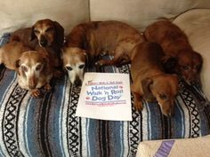 all these doxie's support National Walk 'N Roll Dog Day- honoring and celebrating all dogs in wheelchairs who teach us to embrace each day with love, hope and joy. www.nationalwalknrolldogday.com