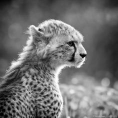 "brookshawphotography: ""A gorgeous backlit Cheetah Cub at Chester Zoo… """