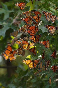 https://flic.kr/p/d8nkUj | 36 Monarchs | Resting on their migration to Mexico