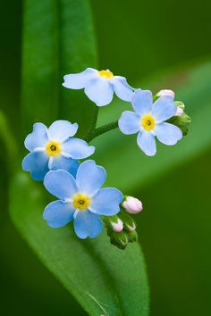 Forget-me-not Photograph by Yuri Peress - Forget-me-not Fine Art Prints and Posters for Sale