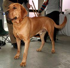 Broholmer, Danish Mastiff