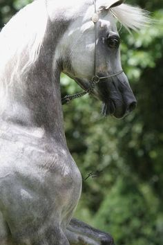Arabian Horse shows off  his Beautiful neck and shoulder