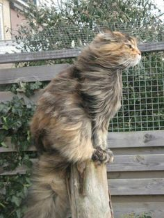 Curly Hair Cat Breeds, or cats with curly hair. There are four main Rex Cat breeds that are recognized and known worldwide. The curly cats are relatively an unusual breed. Pretty Cats, Beautiful Cats, Animals Beautiful, Funny Cats, Funny Animals, Cute Animals, Funniest Animals, Animal Memes, Gato Calico