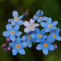 Vergeetmenietjes (Myosotis) can't see these without being reminded of Elder Uchtdorf's counsel to the sisters.