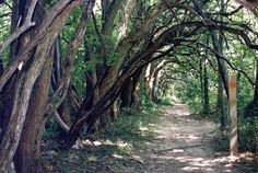 Sugarcreek MetroPark in Bellbrook, Ohio features the Osage Orange Tunnel, and it's a magical place you need to experience for yourself.