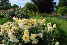 Wisley Garden: Roses and Euphorbia