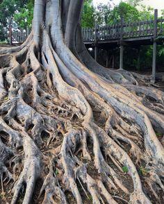 #sandiego #california #balboapark #balboaparkgardens #trees #treeroots Tree Roots, San Diego, Theater, Lion Sculpture, Trees, California, Statue, Cake, Wood