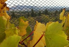 Views overlooking the Alexandra Basin, Central Otago from inside the protective nets at 8 Ranges Wines.