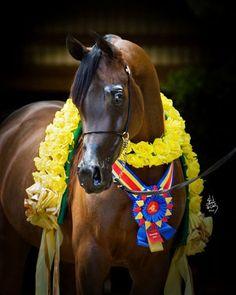 Abha Palma (Marwan Al Shaqab x Abha Ghazali) A 2006 Arabian mare who was 2008 World Champion junior filly and 2010 Scottsdale Supreme Champion.