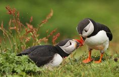 Puffin's are so cute!! I love them so much. There one of my favorite kind of birds!