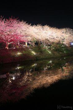 Sakura Festival, Cherry blossom - Fukuoka Castle Ruins (Maizuru Park), Fukuoka, Japan
