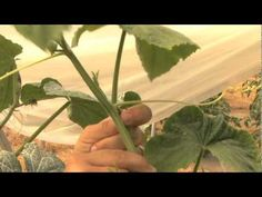 How to Prune Cucumbers - remove the growth point between the leaf, tendril, and fruit from the time you transplant them!