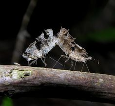 Mating leafy-spiny seed-mimicking bugs (Pephricus sp), northern Madagascar by Arthur Anker