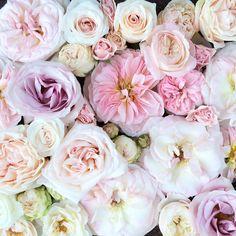 Blush Pink Rose Study