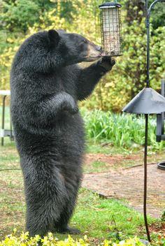 Black bear robbing the bird feeder from paulwillisphotography.com