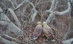 Judit és Arnold, a rétisas pár már 3 tojáson kotlik – élő közvetítés a fészekből!