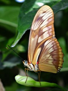"Its most common english name is glasswinged butterfly, and its Spanish name is ""espejitos"", which means ""little mirrors."""