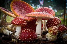 Aminita-type mushrooms.
