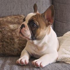 Adorable fawn pied Frenchie
