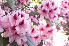 read all about the magic of the pink rhododendrom flower essence here!