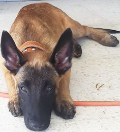 Hi, I'm Cairo. I came to this world on May. 17, 2012. Yeap.. I'm a Taurus. I don't want to brag but my dad is .....(a kick-ass Belgian Mallinois K-9 from ICE office in Texas); Photo Copyright of Elizabeth C. Vinelli.