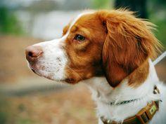 Brittany + dog