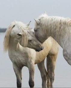 The White Horses of the Camargue by Scott Stulberg