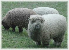Google Image Result for http://babydollsouthdowns.com/Babydoll_Sheep_1.jpg