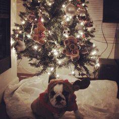 Chorizo the bulldog loves his Christmas tree. Christmas Items, Christmas Tree, English Bulldogs, Chorizo, Holiday Decor, Home Decor, Homemade Home Decor, Xmas Tree, Xmas Trees
