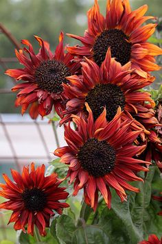 Sunflower 'Cappuccino' by Annie's Annuals. Love this company's website!
