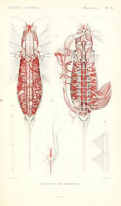 Anatomy of Orthoptera - grasshoppers, crickets and locusts