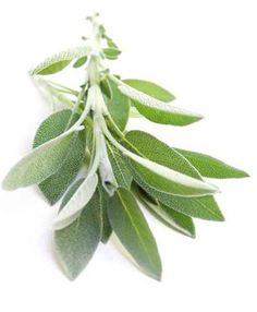 White sage uses in cosmetics, soaps, oil infusions, white sage tea, medicinal uses of white sage. Yellow Plants, Red Plants, Healing Herbs, Medicinal Herbs, Kitchen Garden Plants, Sage Uses, Chilli Plant, Sage Herb, Sage Essential Oil