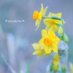#水仙#Narcissus#flower