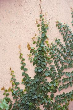 It's nature's own vertical garden. Plant climbers such as Ficus pumila and Hedera helix that cling to walls and don't take up much space Ficus Pumila, Wall Climbing Plants, Climbing Vines, Plant Design, Garden Design, Creepers Plants, Climber Plants, Australian Plants, Plant Aesthetic