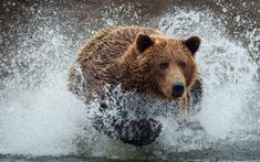 dogs running deer   Bear Running Wallpapers Pictures Photos Images