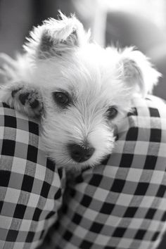 Funny Animals TV added a new photo. Westies, Westie Puppies, Cute Puppies, Dogs And Puppies, Doggies, Chihuahua Dogs, West Highland White Terrier, Baby Animals, Cute Animals